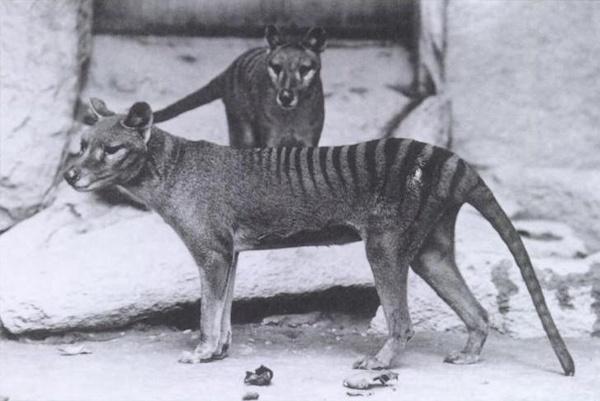 Wilkowory tasmańskie w waszyngtońskim zoo, ok. 1904 (domena publiczna)